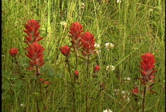 Indian Paintbrush wildflower 2 - stock footage