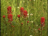Stock Video Footage of Indian Paintbrush wildflower 2