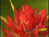 Stock Video Footage of Indian Paintbrush wildflower