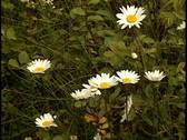 Stock Video Footage of Group of Wild Daisies
