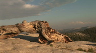 Stock Video Footage of Bristlecone Pine trunk, Sentinel Dome, Yosemite National Park