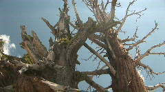 Bristlecone Pine Tree in Yosemite National Park, California - stock footage