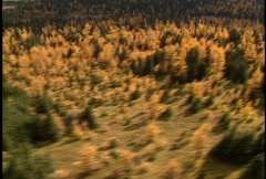 Aerial of Autumn Larch Trees Stock Footage