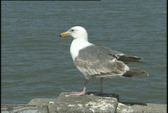 Seagull - stock footage