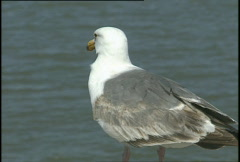 Seagull at Golden Gate Brigde Stock Footage