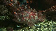 Vermilion Rockfish Stock Footage