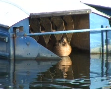 Duck and boat Stock Footage