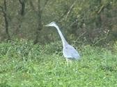Grey heron stalking Stock Footage