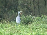 Grey heron with prey Stock Footage