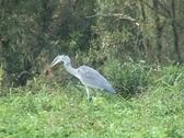 Grey heron eating Stock Footage