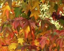 amber tree - stock footage