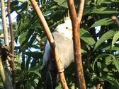 Stock Video Footage of Cockatiel (Nymphicus hollandicus)