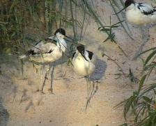 Avocet (Recurvirostra avosetta) Stock Footage