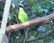Budgerigar (Melopsittacus undulatus) in a tree Stock Footage