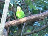 Stock Video Footage of Budgerigar (Melopsittacus undulatus) in a tree