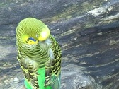 Stock Video Footage of Budgerigar (Melopsittacus undulatus) cleaning feathers