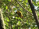 Stock Video Footage of Village Weaver bird (Ploceus cucullatus) sunbathing