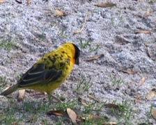 Village Weaver bird (Ploceus cucullatus) feeding Stock Footage