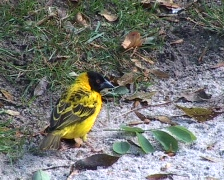 Village Weaver bird (Ploceus cucullatus) working  - stock footage