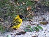 Stock Video Footage of Village Weaver bird (Ploceus cucullatus) working