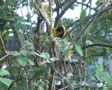 Village Weaver bird (Ploceus cucullatus) working on his nest - stock footage