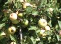 Apple tree full of ripe apples Footage