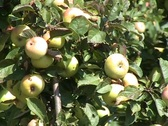 Apple tree full of ripe apples Stock Footage