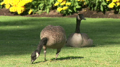 Canadian Geese Grazing on Grass in Canada Stock Footage