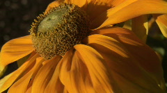 Orange Coneflower in the Breeze Stock Footage