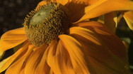 Stock Video Footage of Orange Coneflower in the Breeze