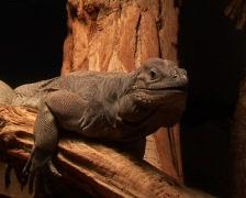 Rhino Iguana (Cyclura cornuta) Stock Footage