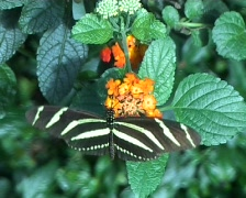Zebra longwing butterfly (Heliconius Charitonia) Stock Footage