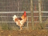 Stock Video Footage of Rooster
