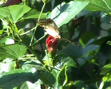 Clipper butterfly (Parthenos sylvia) Stock Footage