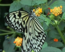 White Paper kite butterfly (Idea leuconoe) close up Stock Footage