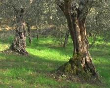 Olive trees Stock Footage