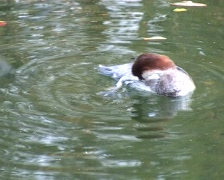 Common goldeneye duck (Bucephala clangula) Stock Footage