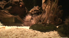 Sea hedgehog (Phylum Echinodermata), close-up Stock Footage
