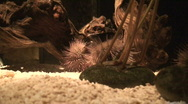 Stock Video Footage of Sea hedgehog (Phylum Echinodermata), close-up