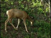 Whitetail Deer  Stock Footage