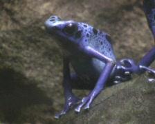 Blue frog - Dendrobates azureus (series 1/4) Stock Footage
