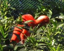 Scarlet Ibis - Eudocimus ruber Stock Footage