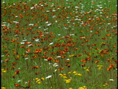 Stock Video Footage of Wildflowers in Alpine Meadow