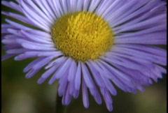 Purple wildflower  Stock Footage