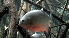 Red Bellied Piranha two, close-up Stock Footage