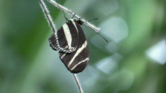 Butterfly resting on a branch (High Definition) Stock Footage