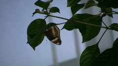 Butterfly resting on a leaf (High Definition) Stock Footage