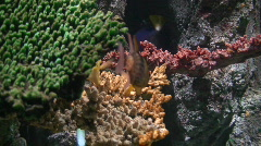Yellow snappers and corals two, close-up Stock Footage