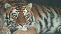 Siberian tiger, close-up Stock Footage