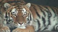 Siberian tiger, close-up Stock Footage